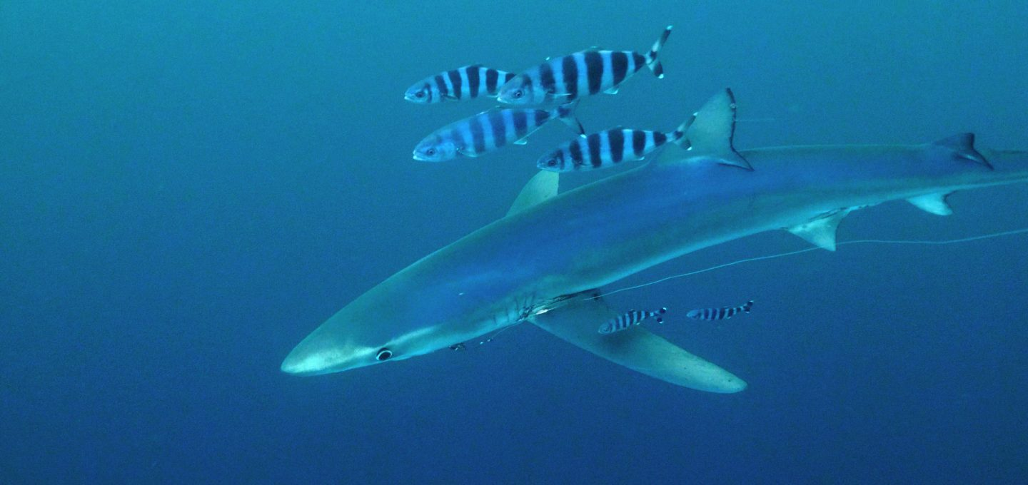 Balearics blue shark sharkmed pilot fish