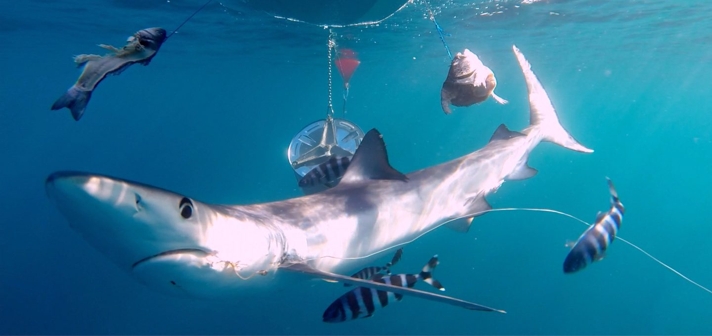 Balearics blue shark sharkmed hook