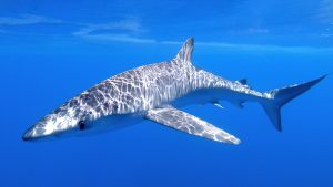 Balearics blue shark sharkmed