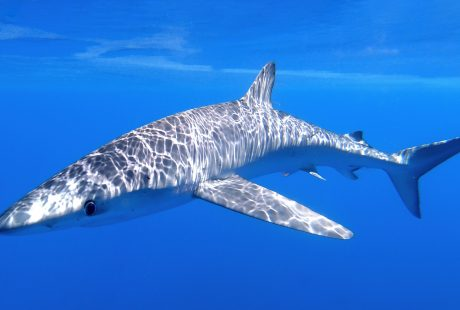 Balearics blue shark sharkmed