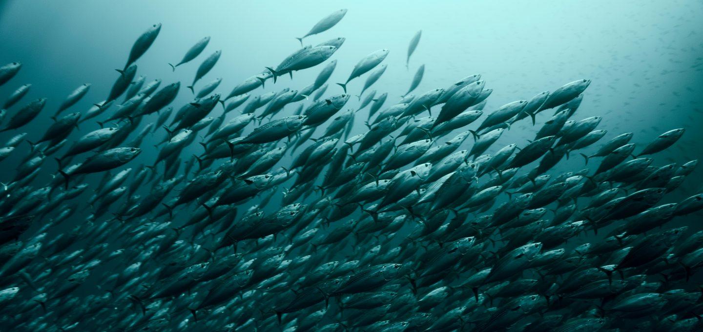 Revillagigedo Islands bait fish