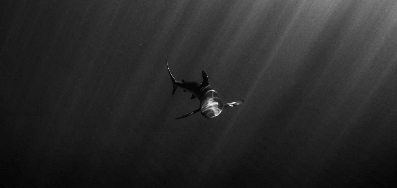 Revillagigedo Islands silky shark