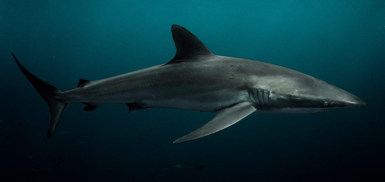 Revillagigedo Islands galapagos shark