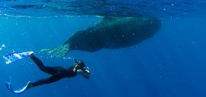 Physty sperm whale Dominica Gaelin Rosenwaks ocean