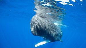 Physty sperm whale Dominica Gaelin Rosenwaks underwater
