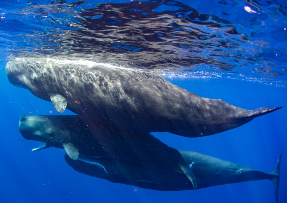 Physty sperm whale Dominica Gaelin Rosenwaks family group