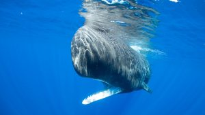 Physty sperm whale Dominica Gaelin Rosenwaks