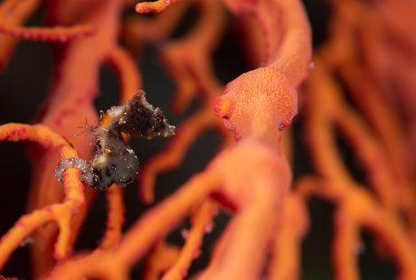 New pygmy seahorses Dr Richard Smith Pontoh's