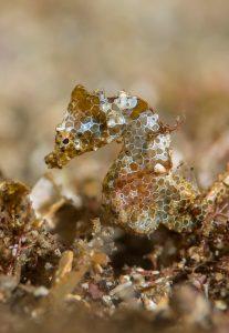 New pygmy seahorses Dr Richard Smith macro