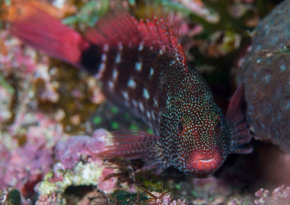 New pygmy seahorses Dr Richard Smith fish
