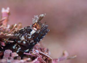 New pygmy seahorses Dr Richard Smith hirsute blenny