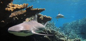 Blacktip sharks Global Fishing Watch Marine Protected Areas