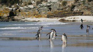 gentoo penguins southern hemisphere