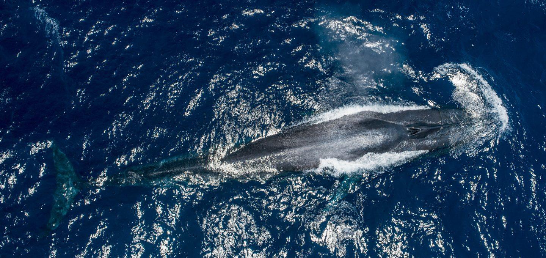 Dr Asha de Vos Sri Lanka blue whales whale