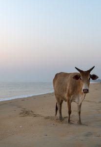Dr Asha de Vos Sri Lanka blue whales cow