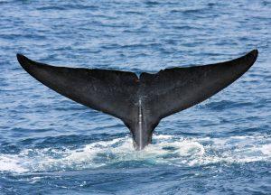 Dr Asha de Vos Sri Lanka blue whales fluke