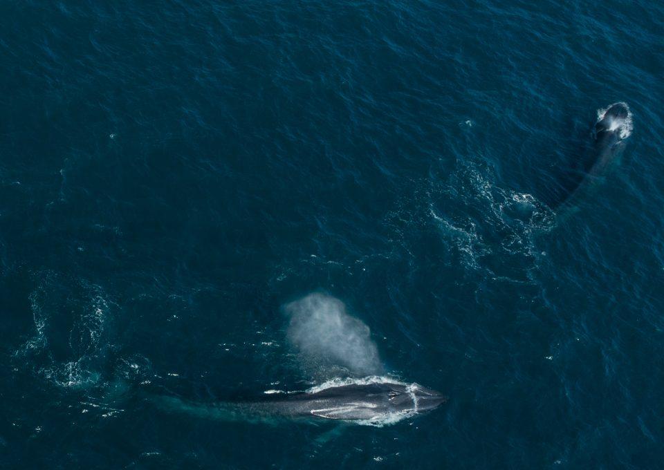 Dr Asha de Vos Sri Lanka blue whales drone