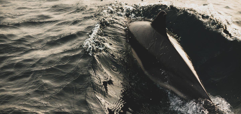 Lou Luddington sailing dolphin