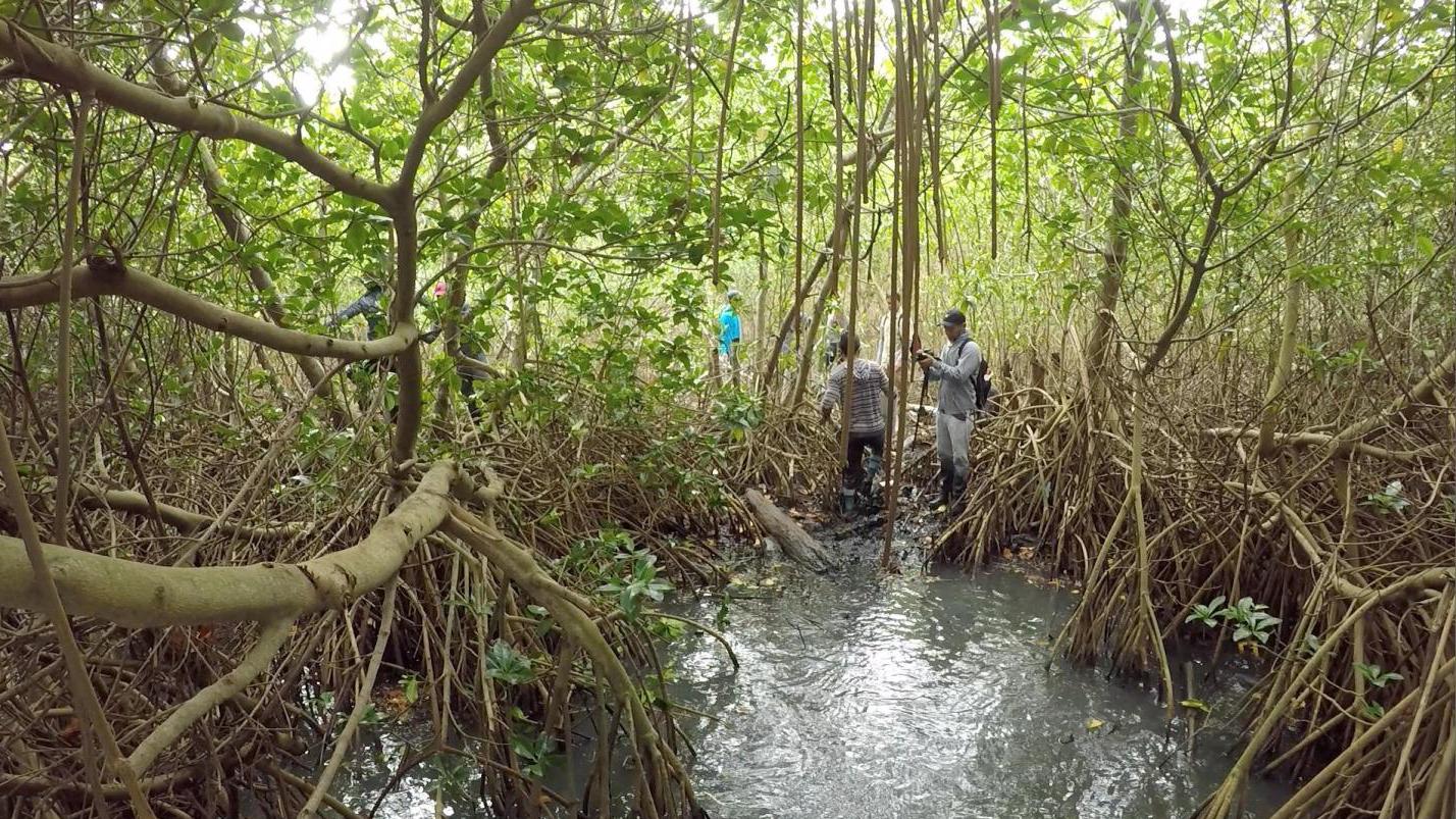 mangroves under threat