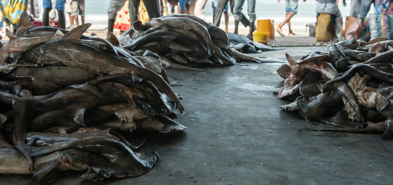 Shark fishing Republic of Congo TRAFFIC landed