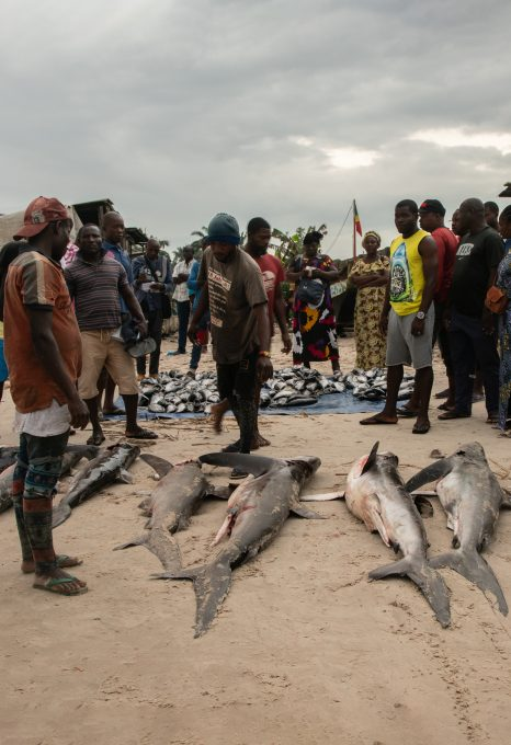 Shark fishing Republic of Congo TRAFFIC sharks