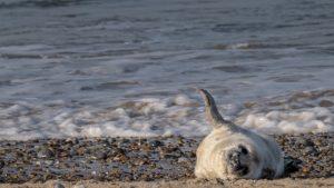 grey seal colony Blakeney Point newborn pup
