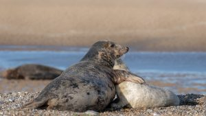 grey seal colony Blakeney Point pups