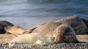 grey seal colony Blakeney Point
