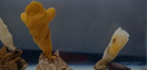 glass sponge reef howe sound british columbia oceanwise