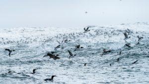 Triangle Island Ryan Tidman ocean birds