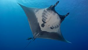 giant manta endangered species