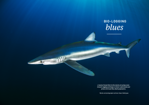Issue 16, blue shark, tagging