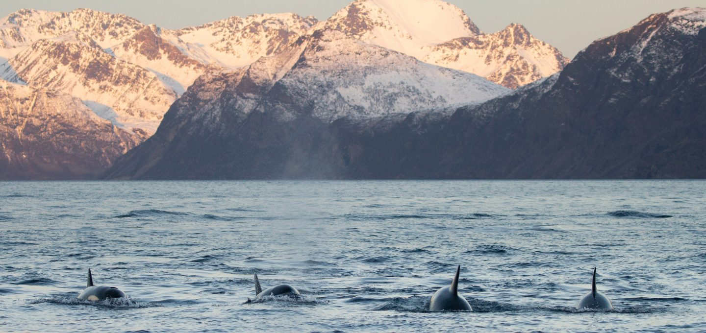 whale watching Norway covid 2020 pod