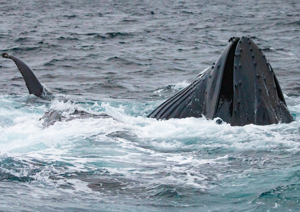 whale watching Norway covid 2020 humpback