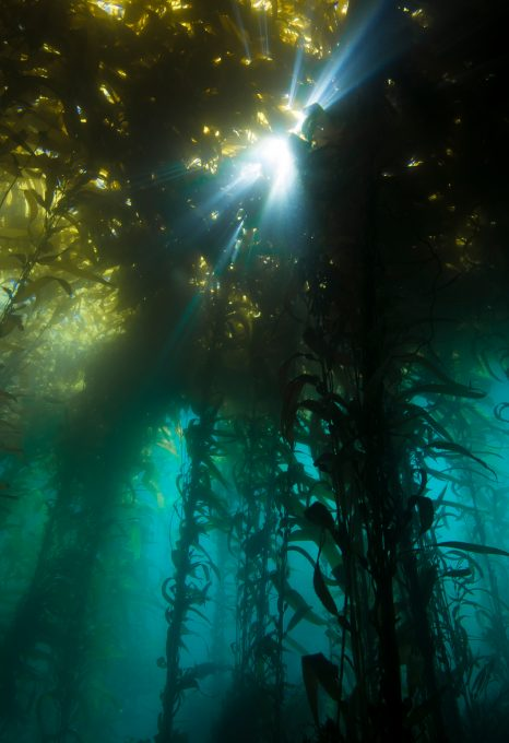 kelp forest salish sea underwater