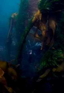 kelp forest salish sea freediver