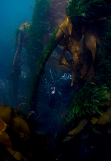 kelp forest salish sea freediver