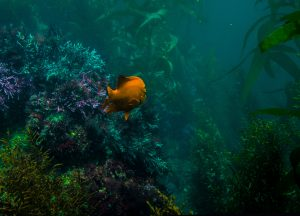 kelp forest salish sea marine life
