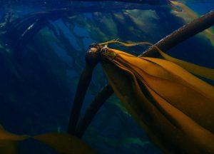 kelp forest salish sea