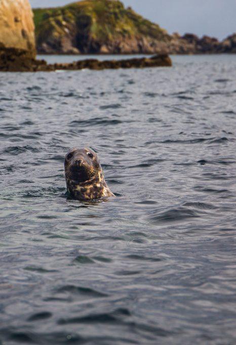 wild swimming cornwall seal