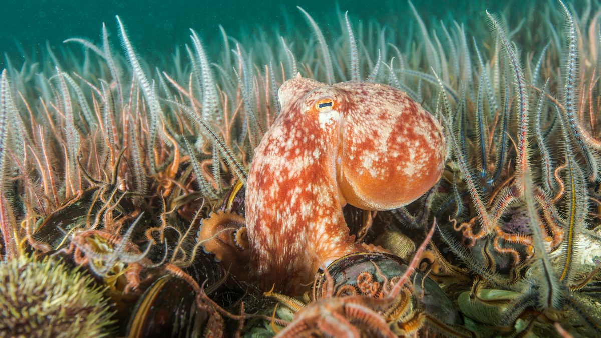 A healthy seafloor ecosystem with an octopus amongst the starfish