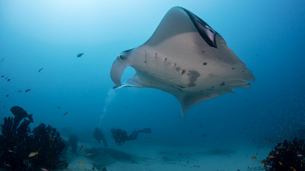 A new commercial fishing law passed in Mozambique enacts protections for whale sharks, manta rays, and all mobula species.