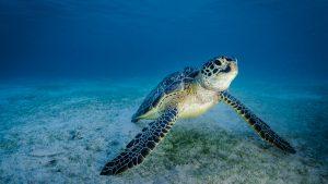 Bangkaru Island turtles underwater