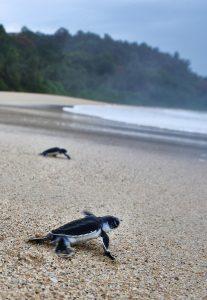 Bangkaru Island turtles hatchlings