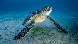 Bangkaru Island turtles green