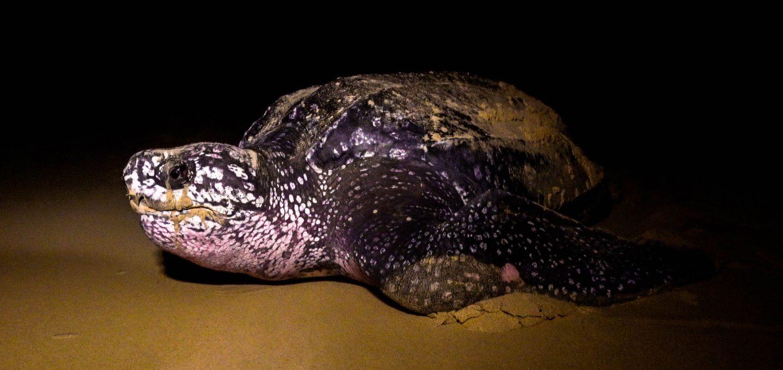 Bangkaru Island turtles leatherback