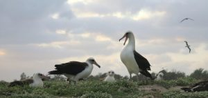 Midway Island Laysan Albatross