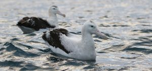Midway Island Tristan Albatross