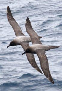 Midway Island light-mantled Albatross