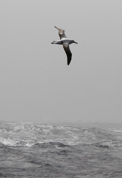 Midway Island wandering Albatross